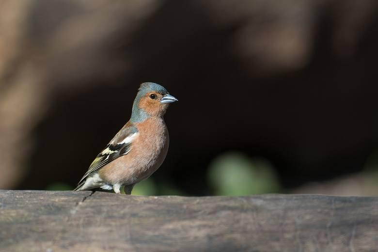 Weź lornetkę i ruszaj liczyć ptaki! Europejskie Dni Ptaków 2018 już w weekend
