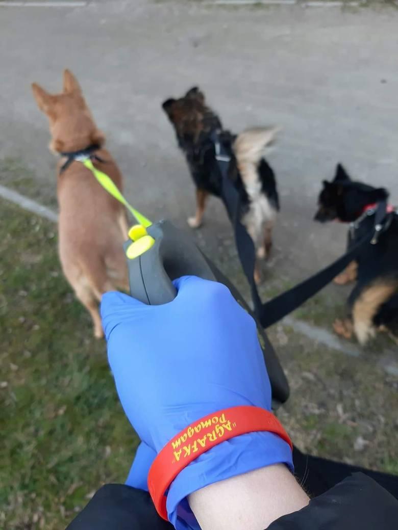 Pabianice. Wolontariusze wychodzą na spacer z psami osób, które mają kwarantannę. Ile spacerów odbyli?