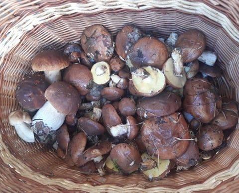 Grzybobranie w Lubuskiem się rozkręca! Chwalicie się pięknymi grzybami. Czekamy na kolejne zdjęcia Waszych okazów i całych koszy zbiorów