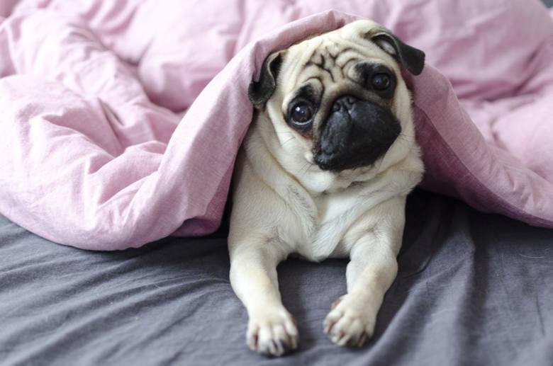 """Powiedzenie """"znudzony jak mops"""" nie wzięło się znikąd! Mopsy to prawdziwe leniuchy, a ich ulubionym zajęciem jest… sen. Mimo, że oddają całe swoje psie"""