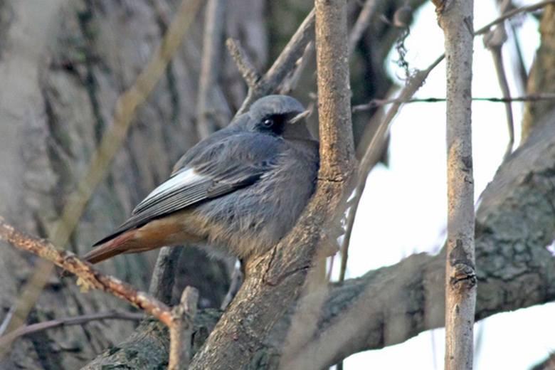 Liczyli ptaki na wyspie Bolko w Opolu