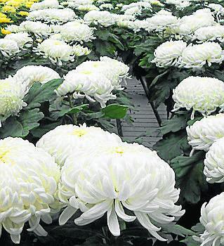 <br /> Odmiany wielkokwiatowe chryzantem są najchętniej kupowane i stawiane na grobach.<br />