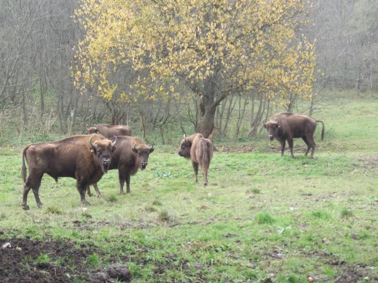 Leśnicy policzyli zwierzęta w podkarpackich nadleśnictwach. Liczba drapieżników rośnie. Jest ponad 600 wilków i ponad 230 niedźwiedzi