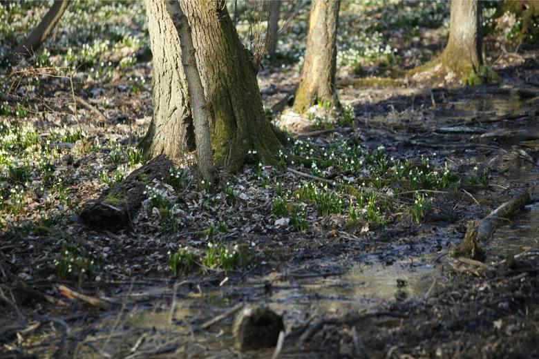 REZERWAT ŚNIEŻYCOWY JAROd lat rezerwat Śnieżycowy Jar jest hitem każdej wiosny. A to za sprawą śnieżycy wiosennej – małych, białych kwiatów, które tworzą