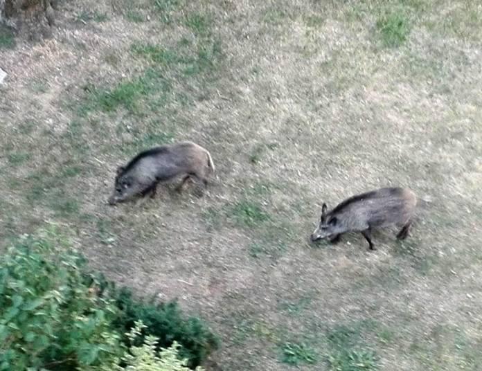 Dziki na dobre zagościły w Zielonej Górze i świetnie czują się na osiedlach oraz w osiedlowych krzakach. W piątek 8 czerwca z samego rana były na ul.