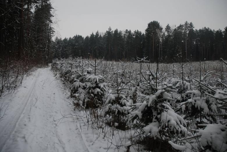 Drzewka na święta. W Lasach Państwowych rozpoczęło się pozyskiwanie choinek świątecznych (zdjęcia)