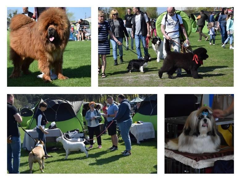 Jeszcze dziś (sobota) do późnego popołudnia można podziwiać psie piękności z całego kraju. Właściciele z czworonogami walczą o medale i puchary na terenie