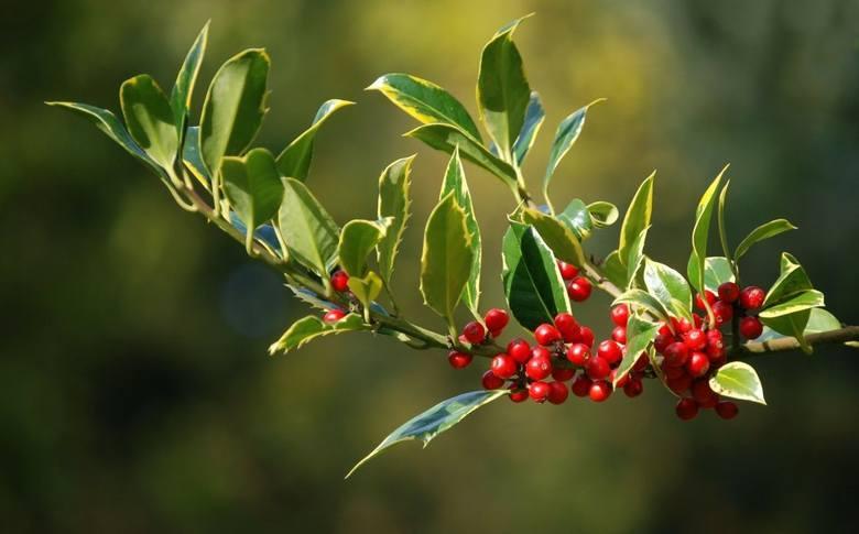 Ostrokrzewy mają czerwone owoce (ale nie tylko), wiele odmian ma też zielone liście zimą.