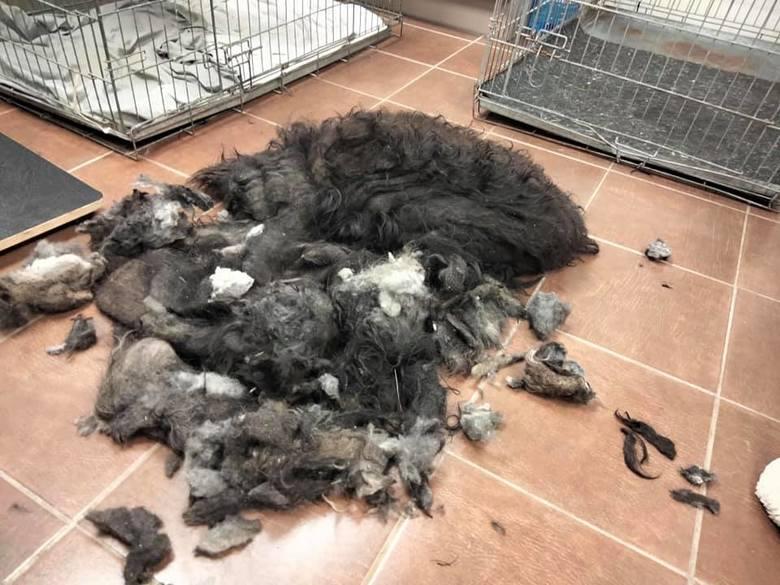 Ciało suczki pokrywała 3-kilogramowa skorupa sierści. Wolontariusze zielonogórskiego OTOZ Animals: dźwigała ciężar ludzkiego okrucieństwa