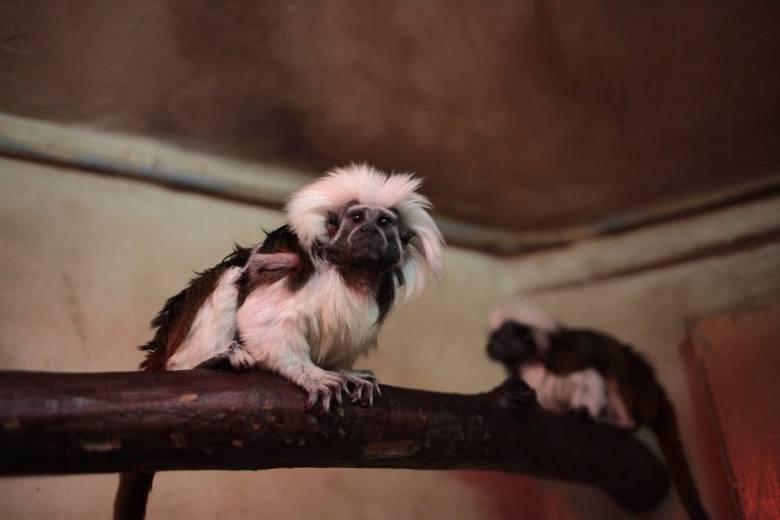 Tamaryny białoczube w opolskim zoo.