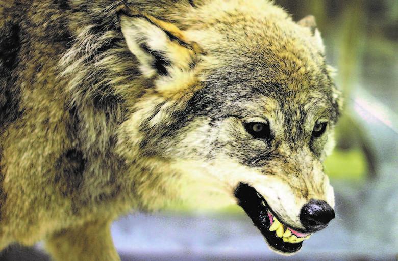 Ludzie w Bieszczadach mówią, że wilki przestały bać się ludzi.