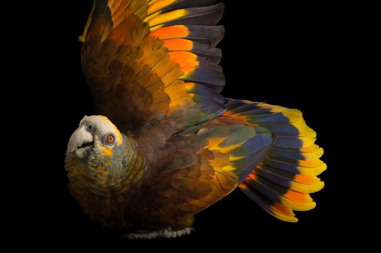 AMAZONKA KRÓLEWSKAPapuga St. Vincent z Houston ZOO w stanie Texas w USA. Obecnie żyje od 250 do 999 przedstawicieli tego gatunku. Głównymi przyczynami