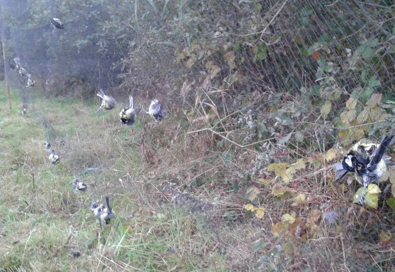 Martwe ptaki zaplątane w sieci.