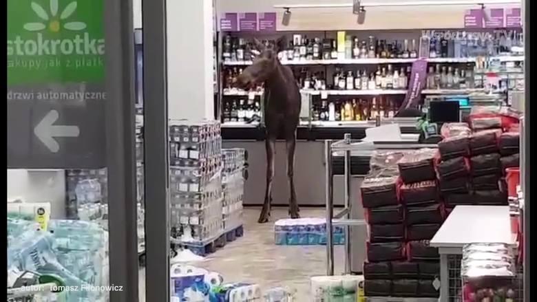 Łoś w poniedziałek wieczorem odwiedził jeden z sokólskich sklepów. Narobił bałaganu i uciekł. Dziś po jego wizycie nie ma już prawie śladu. Ale internauci