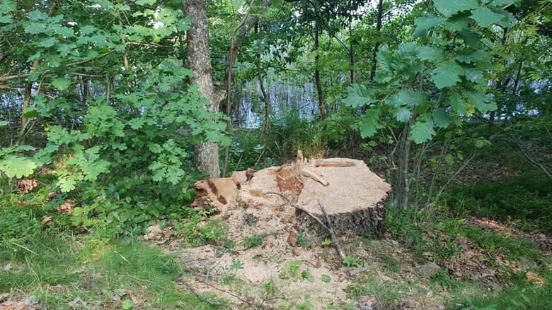 Wycięte drzewa nad Jeleniem.
