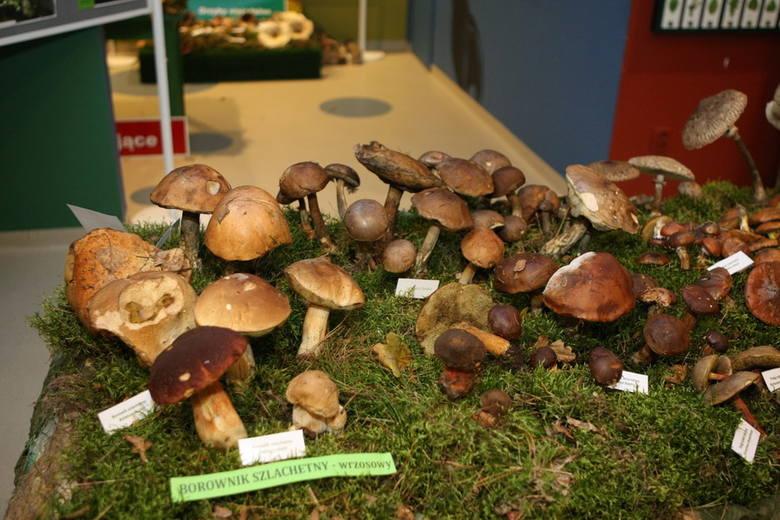 Wystawa grzybów w starostwieWystawa grzybów w starostwie