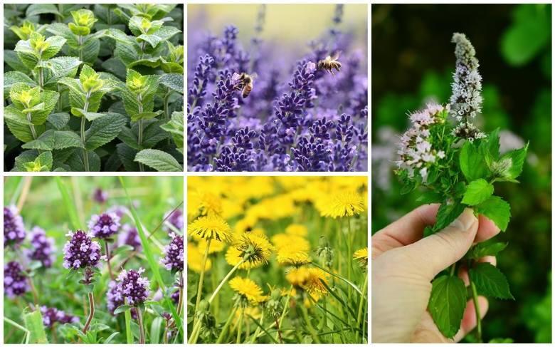 Pszczoły pracują ok. 12 godzin dziennie, wykonują w tym czasie ok. 10 lotów i odwiedzają nawet kilkaset kwiatów.