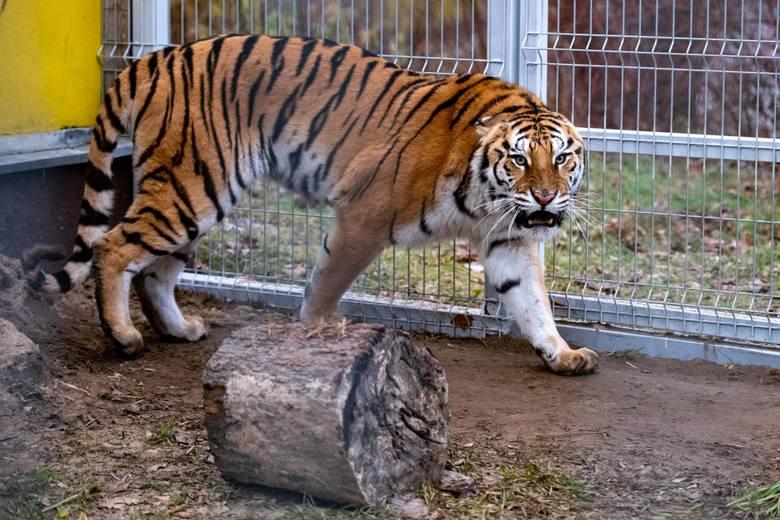 Do azylu miałyby trafiać takie zwierzęta jak tygrysy, które niedawno uratowano z transportu na Białoruś.