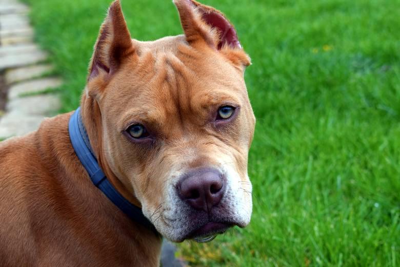 Agresywne rasy psów. Poznaj 14 ras psów uznawanych za najbardziej niebezpieczne. Lepiej na nie uważaj!