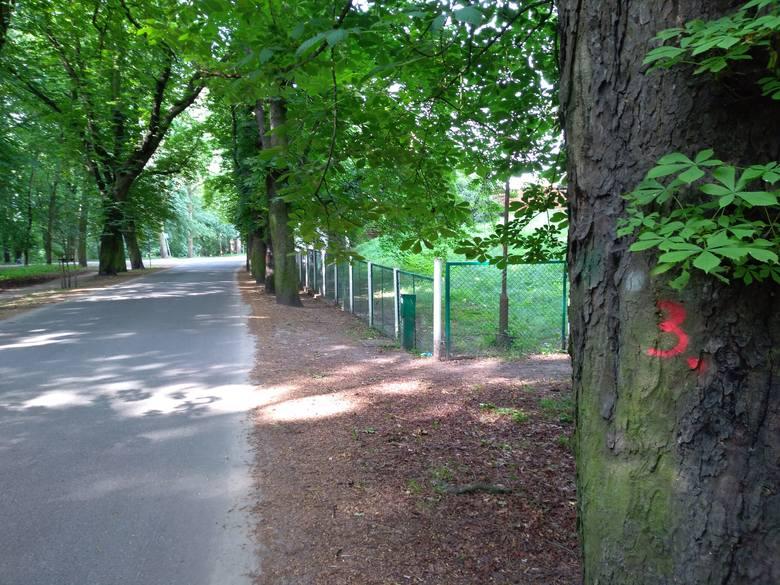 Most tymczasowy w Toruniu. Ile drzew pójdzie pod piłę?