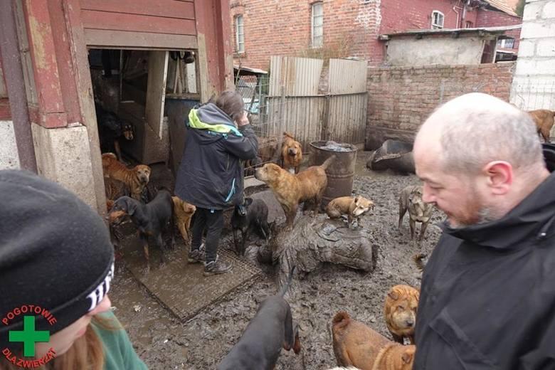 Zdjęcia z nielegalnej hodowli w Starym Czarnowie. Uwaga! Niektóre mogą być drastyczne
