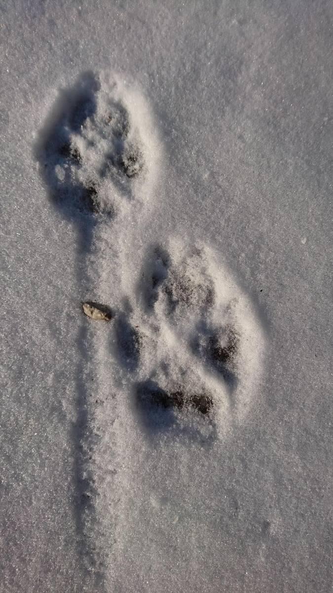 Ślad wilka na śniegu