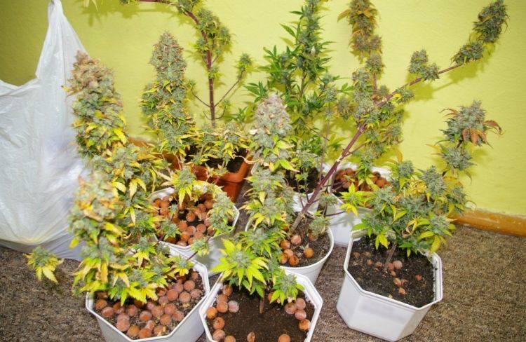 Nowe Miasto, ul. Kisiela. Plantacja marihuany zlikwidowana (zdjęcia)