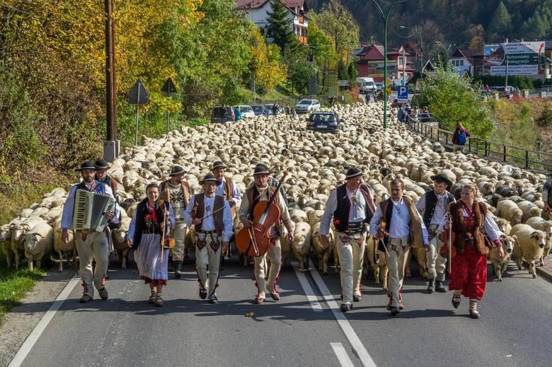 Szczawnica. Ogromny redyk w uzdrowisku. Wędrowało aż 1800 owiec [ZDJĘCIA]