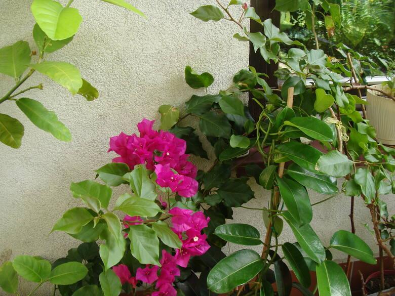 Wakacje na balkonie docenią m.in. rośliny śródziemnomorskie, ale też np. storczyki falenopsisy, które będą lepiej kwitnąć (lubią różnice temperatur między
