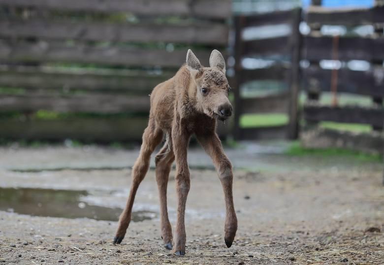 Mały łoś, który stracił matkę ma nową rodzinę w osadzie leśnej w Kole