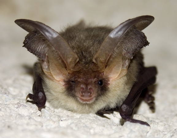 Poprzednią zimę w MRU spędziło ponad 37,5 tys. nietoperzy - takie są wyniki styczniowego liczenia tych latających ssaków.