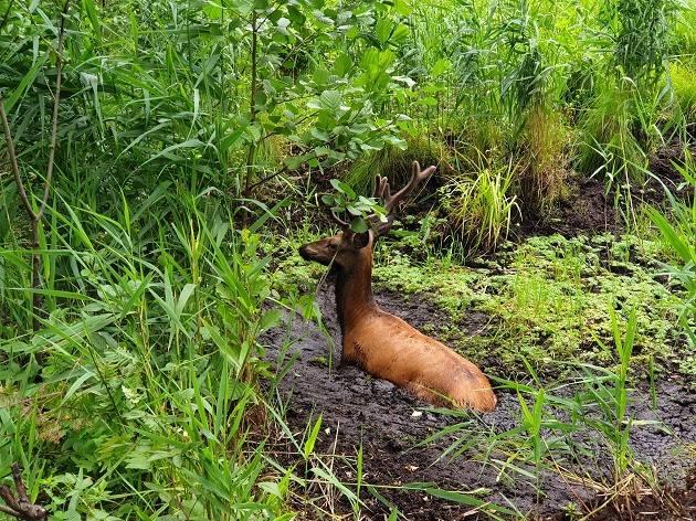 Akcja ratowania jelenia trwała prawie godzinę. Uwolnione z grzęzawiska zwierzę spokojnie odeszło w głąb puszczy.