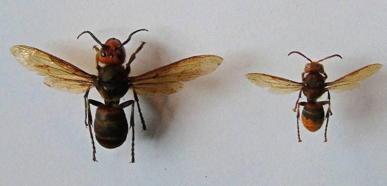 Po lewej: Szerszeń azjatycki: Vespa mandarinia Po prawej: Szerszeń europejski: Vespa crabro