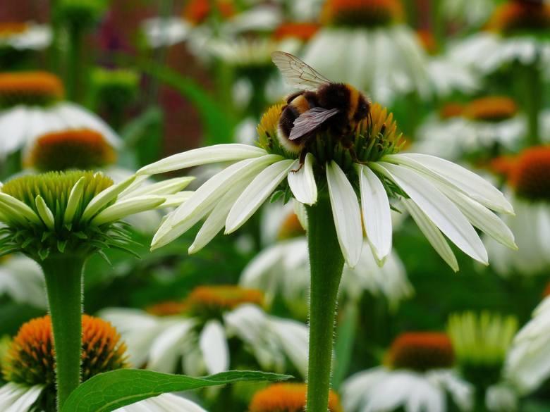 Najbardziej miododajne i atrakcyjne dla owadów rośliny rzadko pojawiają się w przydomowych ogrodach - trudno wyobrazić sobie dekoracyjną rabatę z rzepaku