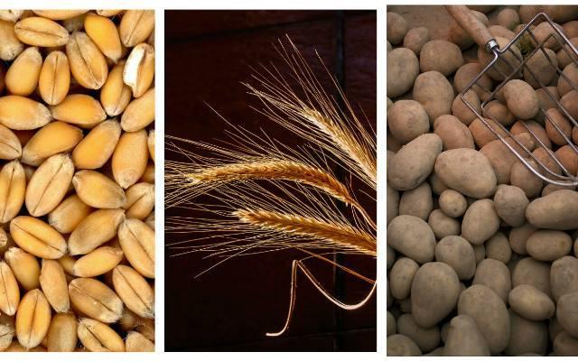 Oto lista najlepiej plonujących odmian zbóż i ziemniaków na ziemiach w Świętokrzyskiem. Została opracowana w ramach systemu badania odmian Porejestrowego