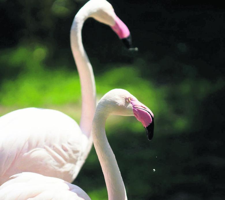 Flamingi dożywają lat 80, a naukowcy nie mają pojęcia, jak im się to udaje