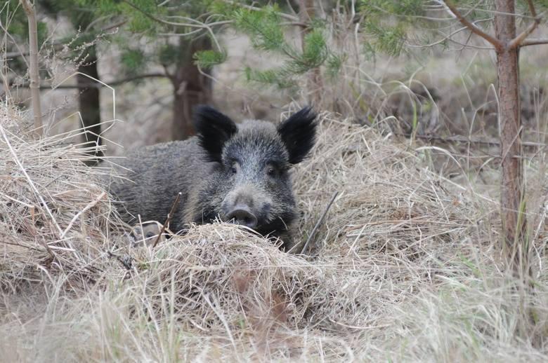 W pierwszych dniach września w Gorzowie mieszkańcy zauważyli, że znacznie częściej niż do tej pory na terenie miasta zaczęły pojawiać się dziki. Niektórzy