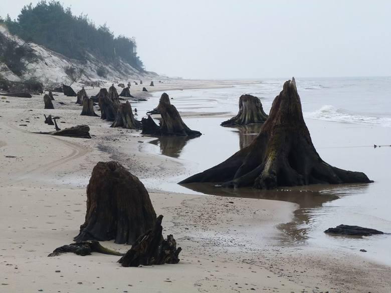 Przyrodnicy z Słowińskiego Parku Narodowego publikują zdjęcia martwego lasu, który odsłoniło morze na plaży w pobliżu Rowów. Jak twierdzą ponad 3 tys.