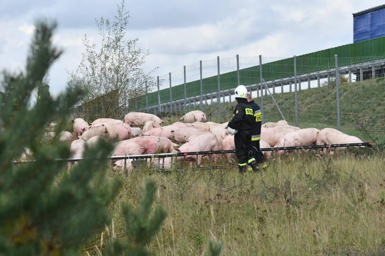 Kolizja pod Gorzowem. Z drogi wypadła ciężarówka przewożąca ponad 180 świń - Widok jest dramatyczny - relacjonuje świadek