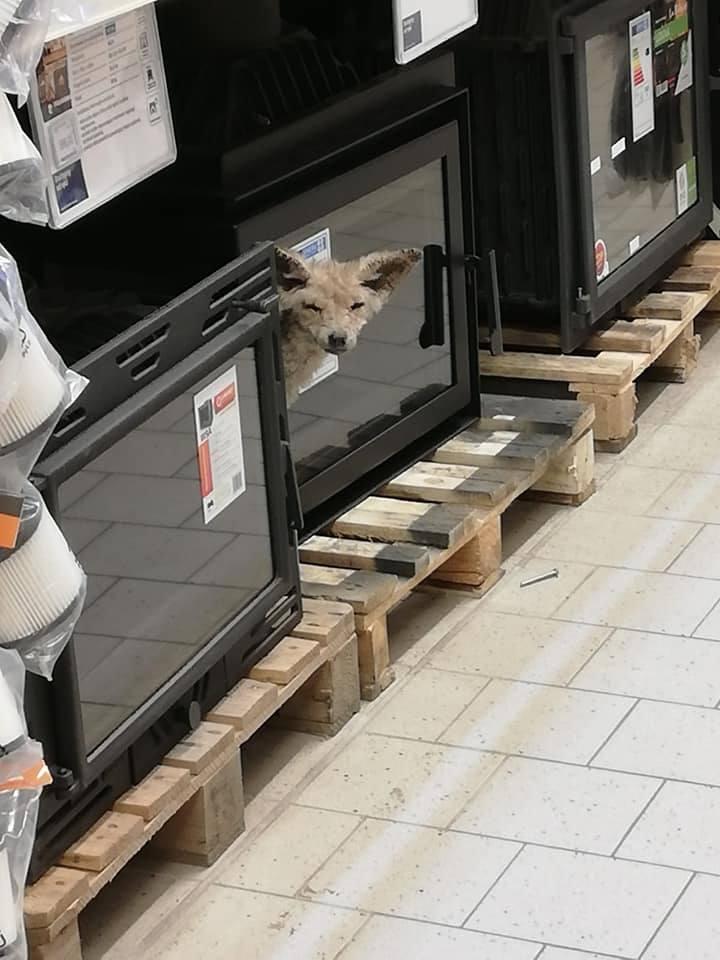 Do niecodziennego zdarzenia doszło dziś (26 listopada) w markecie budowlanym przy Galerii Solnej w Inowrocłaiwu.Do marketu wszedł... lis i błąkał się