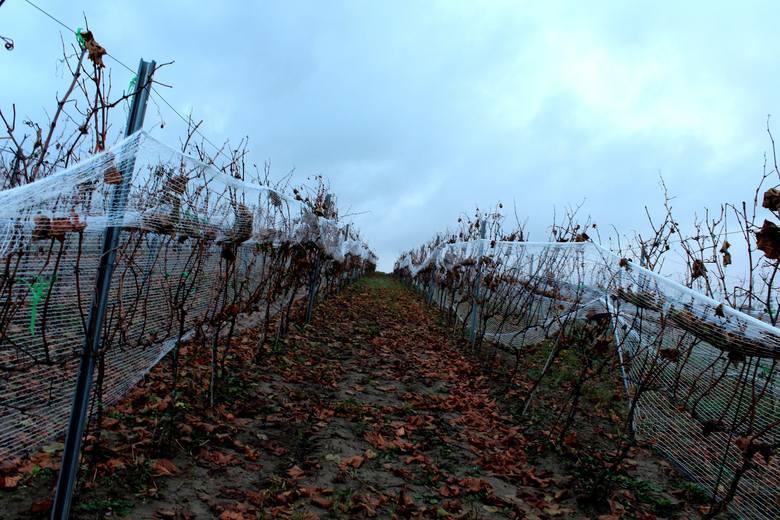 Lubuskie Centrum Winiarstwa znajduje się z Zaborze. Jest to pierwsza w kraju winnica samorządowa, która pretenduje do miana największej w kraju. Winnica ta imponuje wielkością. Jej obszar zajmuje aż 35 hektarów, dlatego warto się tam wybrać!