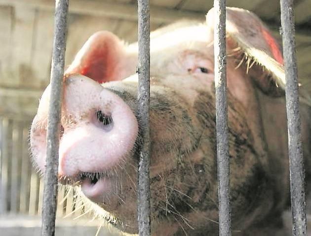 Rolnicy z powiatu mogą się także starać w 2016 roku o dopłaty z ARR do sprzedaży świń w 2015 i sprzedaży mleka