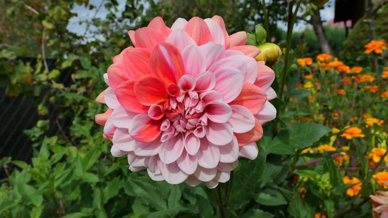Dalie nazywane też georginiami to niezwykle piękne i barwne kwiaty lata. Dawniej zdobiły niemal wszystkie przydomowe ogrody, ale na pewien czas odeszły