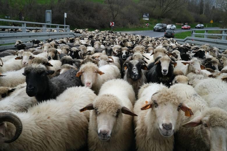W Bieszczadach trwa wiosenny redyk, czyli wypas owiec. Zobaczcie zdjęcia 500 owiec koło Smolnika w gminie Lutowiska.