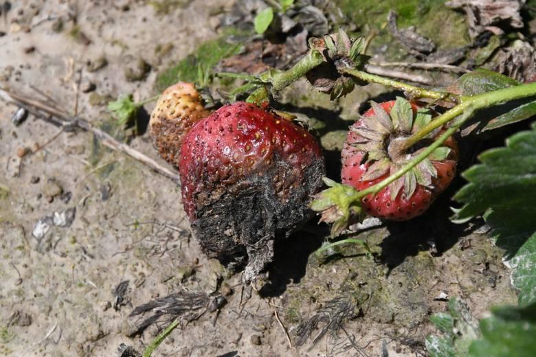 Koniec truskawek w Świętokrzyskiem? Owoce gotują się na polach! [WIDEO, ZDJĘCIA]