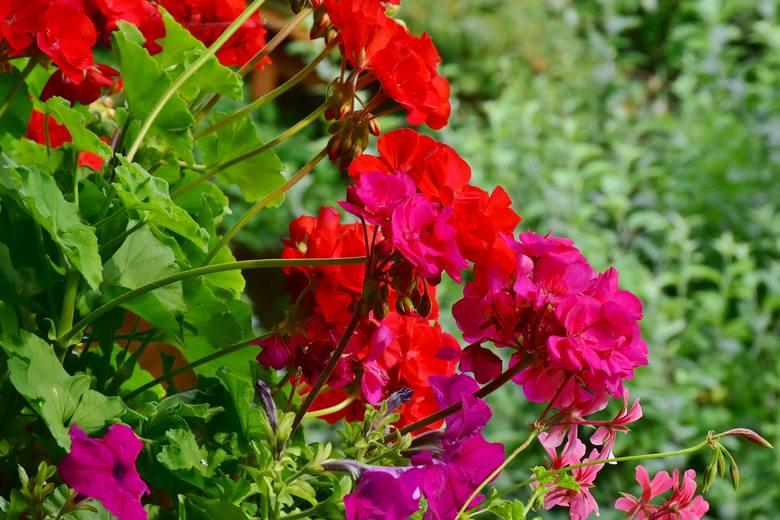 Nie wszystkie rośliny poradzą sobie na słonecznym balkonie równie dobrze, dlatego już na początku sezonu warto się zastanowić, jakie gatunki najlepiej