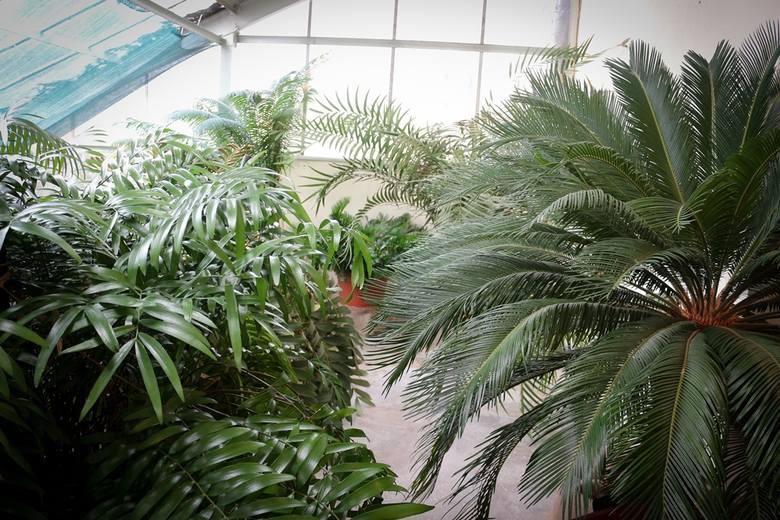 Wrocławski ogród botaniczny uczy jak radzić sobie ze smogiem. Powstała tu antysmogowa strefa odpoczynku.Stojąca na półce paprotka, czy zwisający z parapetu