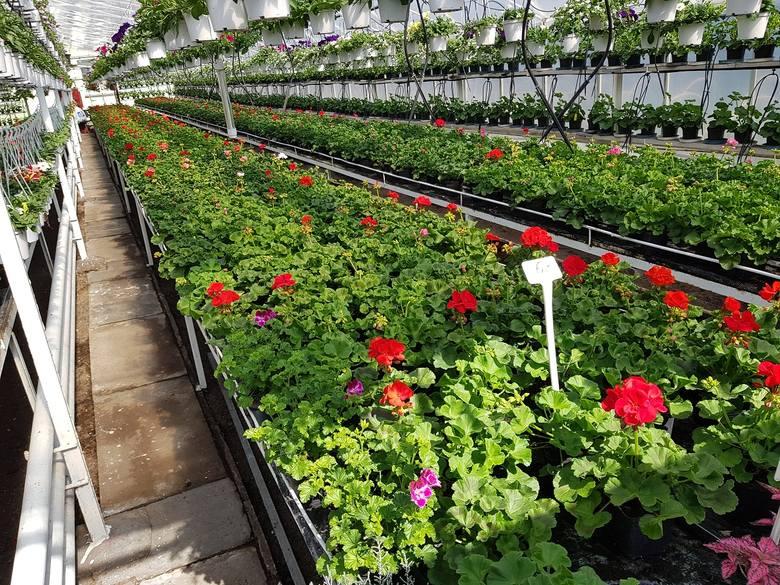 - Klienci bardzo często kupują rozsady warzyw, kwiatów, nasion, krzewy, czy drzewka. Niestety nie zawsze muszą być to rośliny zdrowe - przestrzega Marcin