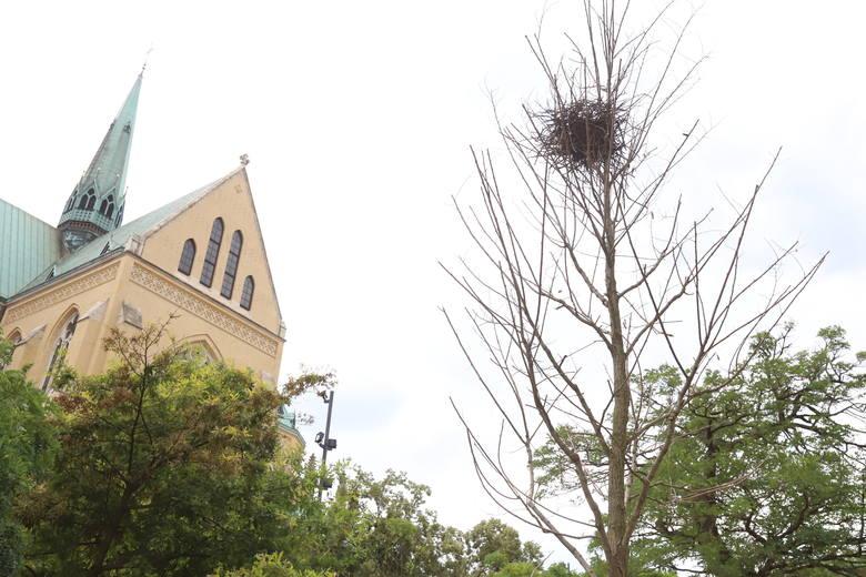Cztery lata temu na Piotrkowskiej zasadzono platany.  Miały być sposobem na trudne warunki dla drzew panujące w centrum. Platany miały z sukcesem zastąpić