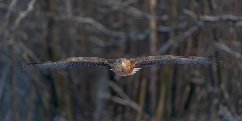 Nalot orła bielika